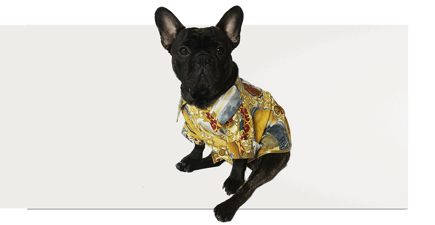 French Bulldog wearing Royal Iceberg shirt
