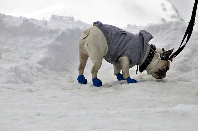 French bulldog wearing snow shoes